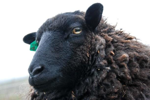 Sheep_051516_007