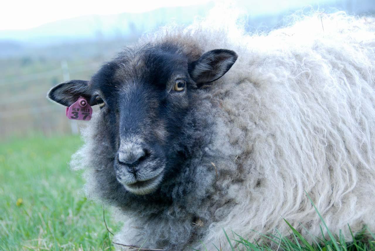 Sheep_051516_011