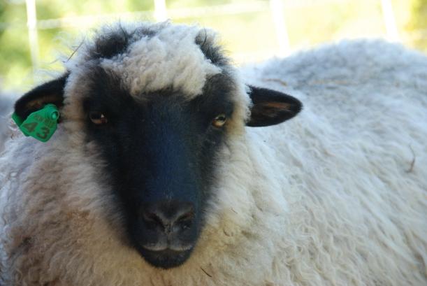 Sheep_091714_017